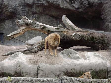 ハーゲンベック動物園のライオン