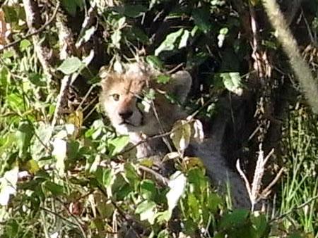 茂みに隠れるチーターの赤ちゃんその2