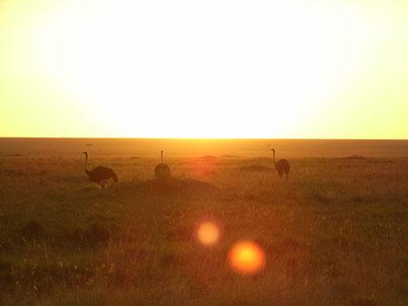 朝陽とダチョウ