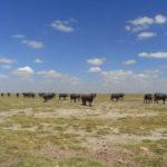 ケニア旅行の写真バッファロー編