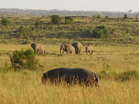草原を歩くカバ