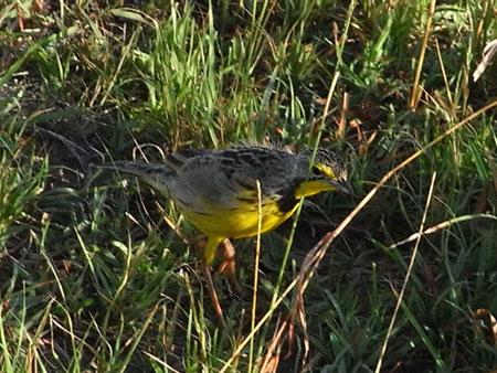 えーと、黄色い鳥です