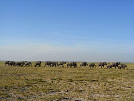 アフリカゾウの行列