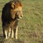 ケニア旅行の写真ライオン編