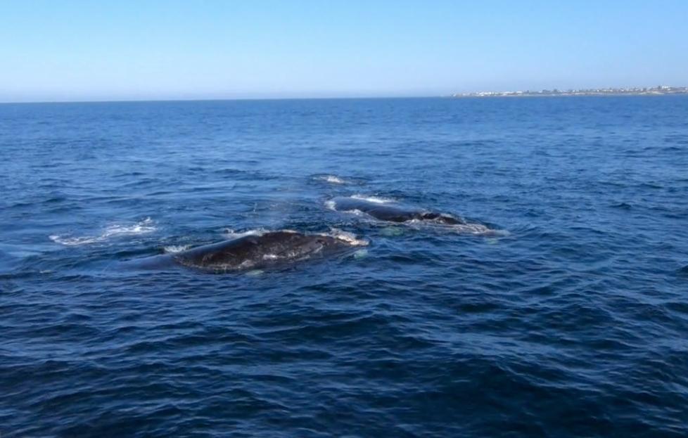 南セミクジラ。近い!